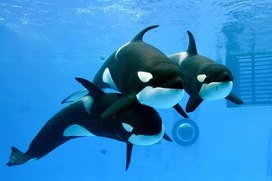 Photo: Orcas, from right, Ran, Stella, Earth